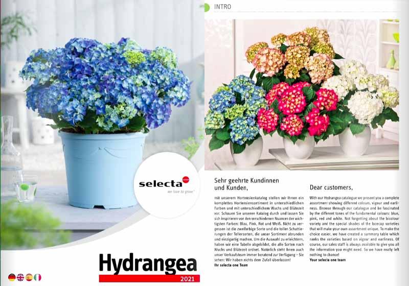 SELECTA_Hydrangea-Hortensia-2021-2022-_rasaduri_